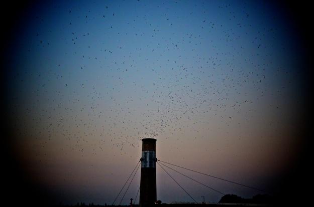 swifts-2