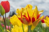 Tulip Festival-3
