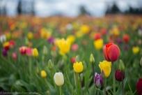 Tulip Festival-5
